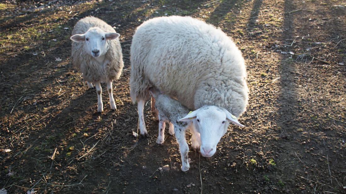 Das gerade geborene Lamm trinkt am Euter seiner Mama