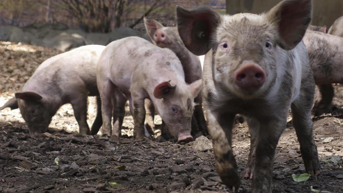 Die Schweine freuen sich auf die Fütterung