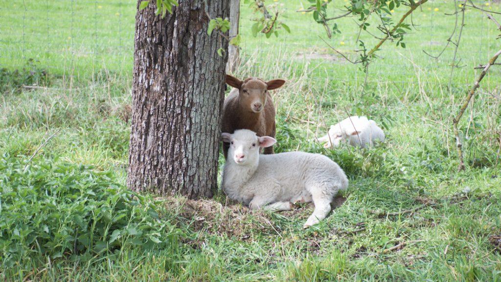 Schafe liegen auf der Wiese unter einem Baum und ruhen sich aus