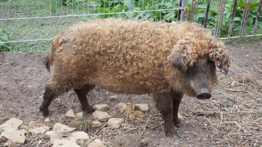 Die Schweine freuten sich über Grassoden und Wildkräuter