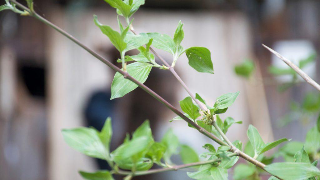 Nun bricht sich der Frühling endlich Bahn und die Zweige bekommen erste Blätter