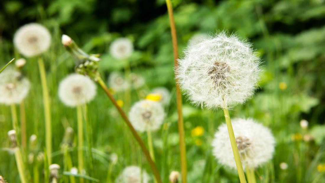 Zu sehen sind Pusteblumen auf einer Wiese