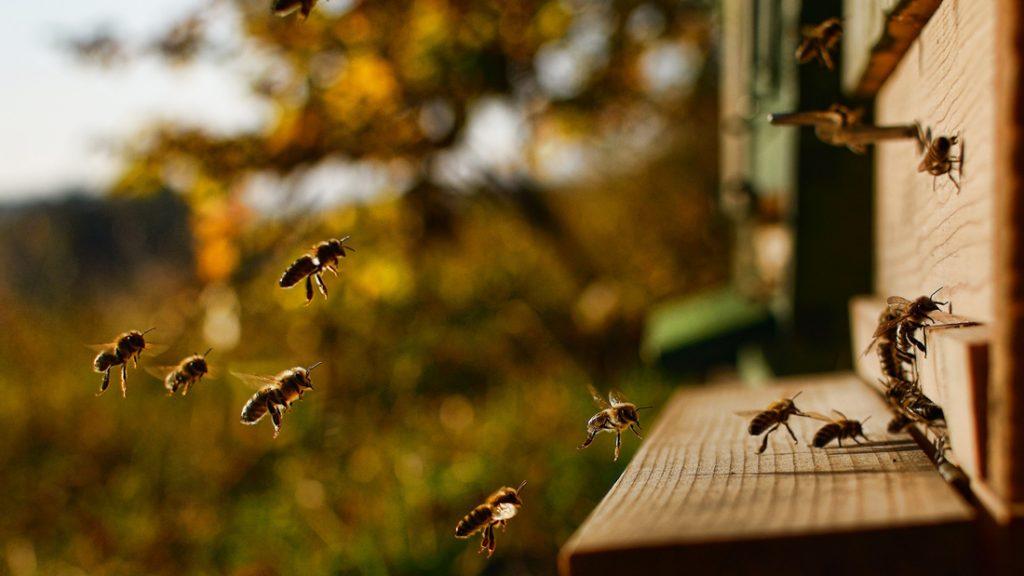 Honigbienen fliegen in den Bienenstock