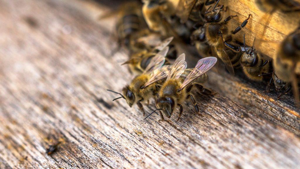 Bienen ziehen in das neue Insektenhotel